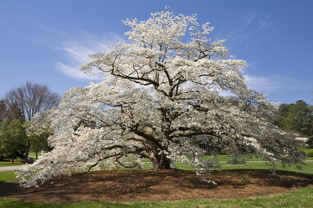 Dogwood In Spring Huntsville Botanical Garden Hunstville Flickr