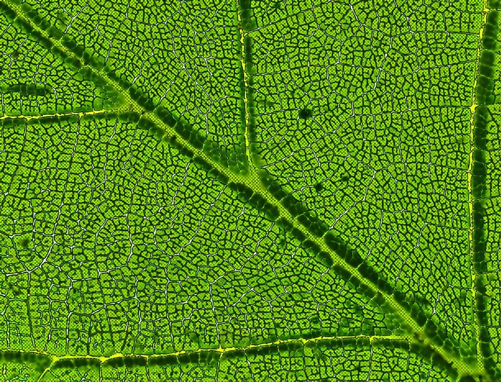 Chlorophyll-System of a leaf | Chlorophyll System eines ...