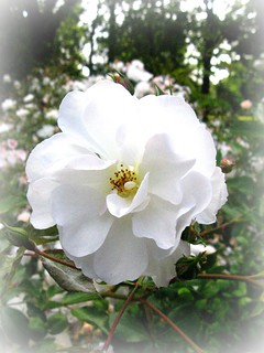 White Rose for Valentine's Day | by Dave Roberts3