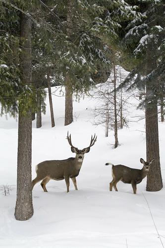 Mule deer buck5 sumpter unit myatt mule deer for Oregon department of fish and wildlife jobs