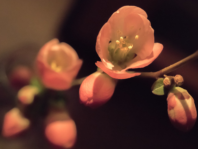 Spring!  Flowering Quince flowers.