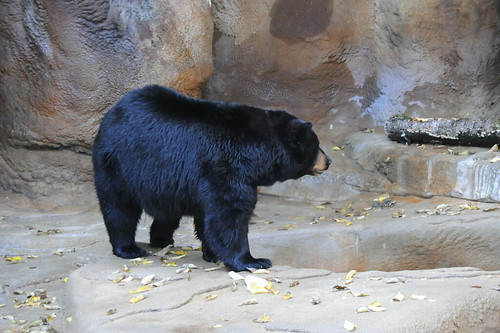a report on the north american black bear American black bear  bears recover more slowly from population losses than other north american mammals by 1900, black bear numbers dwindled in many areas of the .
