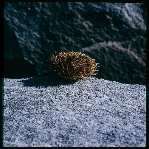 sea urchin | by Jens Jacob - Jambo!