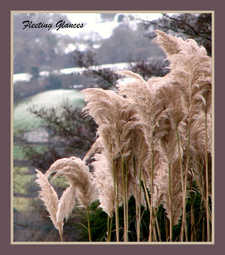 301 pampas grass in winter this pampas grass must be. Black Bedroom Furniture Sets. Home Design Ideas