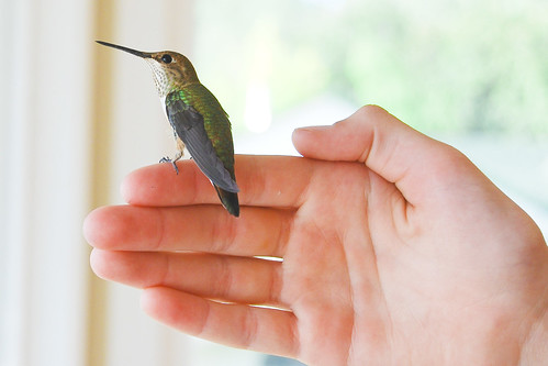 Lost hummingbird | by Tim Shields BC