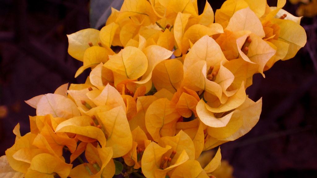 yellow bougainvillea yellow bougainvillea sangeeta
