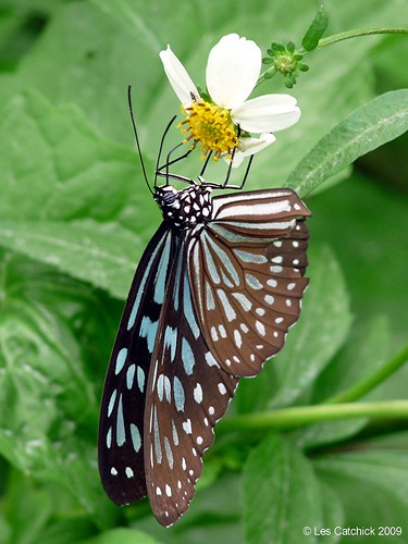 Ideopsis similis, Common name: Ceylon blue glassy tiger | by LPJC