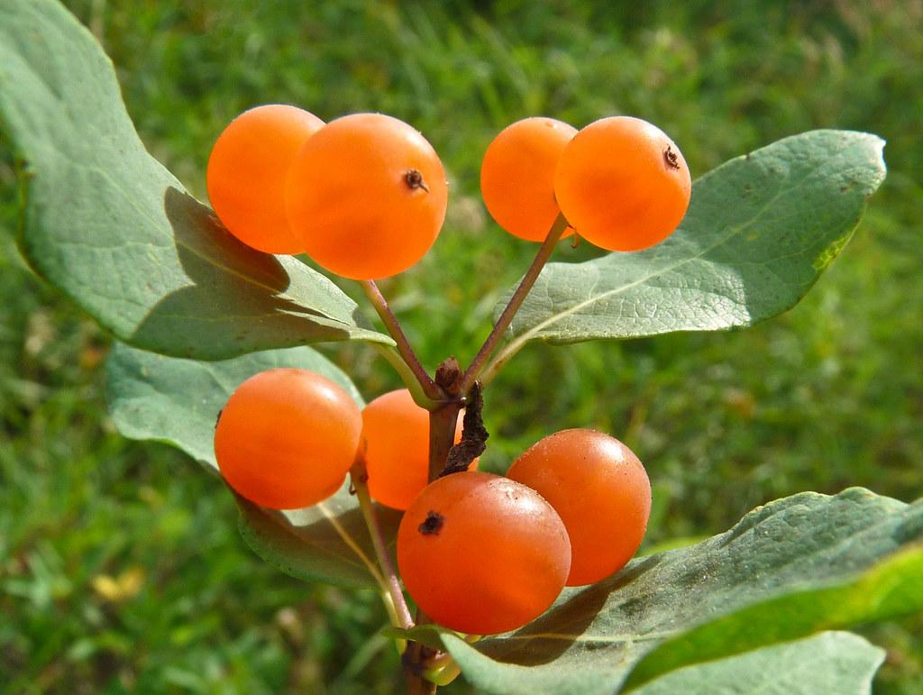 Tartarian Honeysuckle These Beautiful Orange Berries