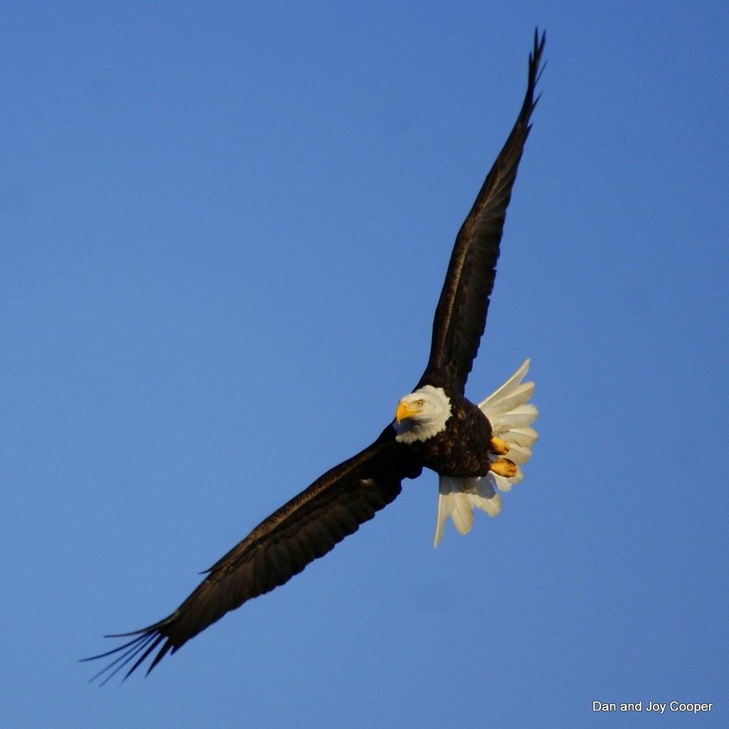 Bald eagle bald eagle fishing at milford lake kansas for Milford lake fishing report