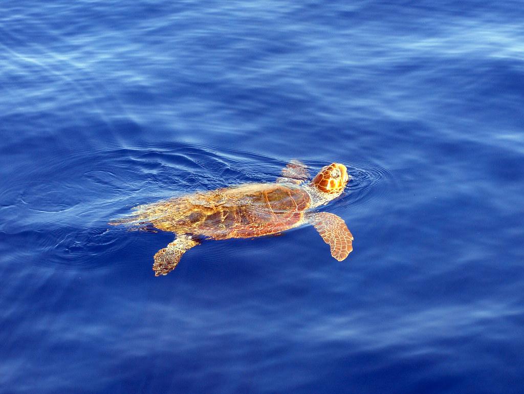 Caretta Caretta | Caretta Caretta turtle | Live Zakynthos | Flickr