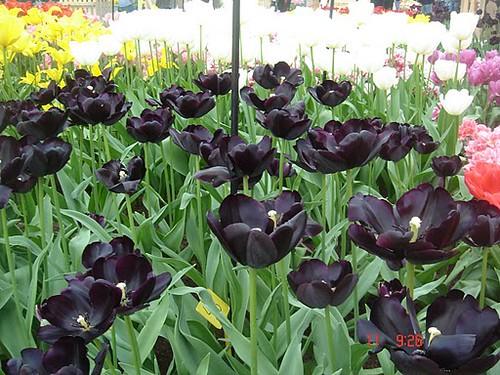tulipas negras    porque hoje  u00c9 quinta flower