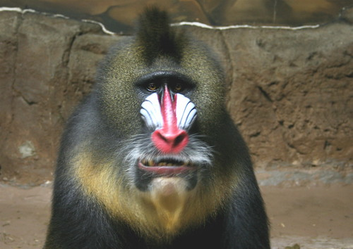 Mandrill - Loko | by Potter Park Zoo