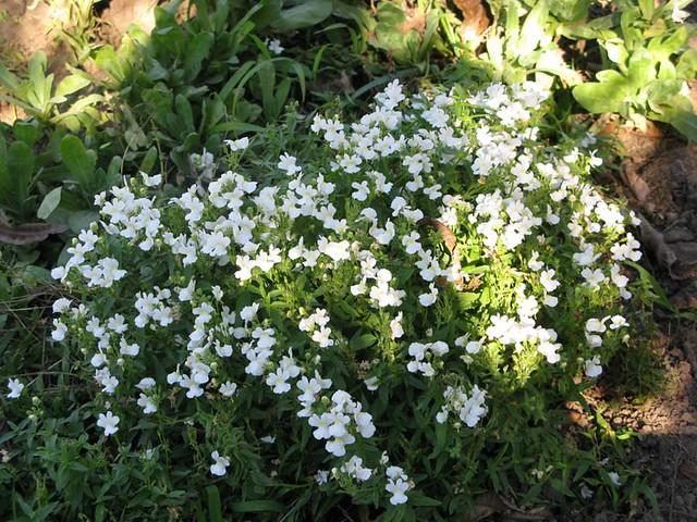Tiny White Flowers That Smell Good Mariyns Flickr