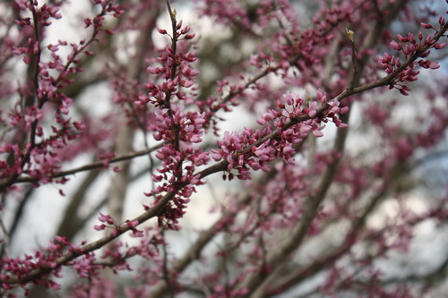 redbud blossoms | by artsy-crafty babe