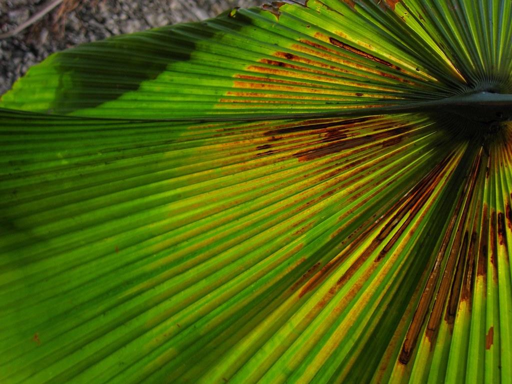 Palma de fiji pritchardia pacifica jard n bot nico de for Jardin botanico xmuch haltun