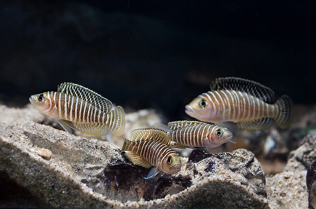 African Cichlid Forum • View topic - protomelas similis