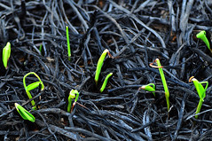 New Growth Sprouting Up Through the Ashes of the Spring Prairie Burn | by Madison Guy