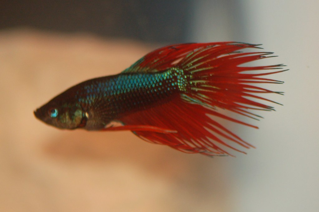Blue Green Crowntail Betta Blue Green Red Crowntail Betta