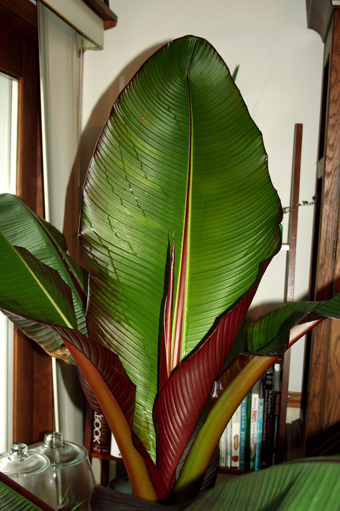 Red Leaf Banana Tree | I brought this guy indoors a week and… | Flickr