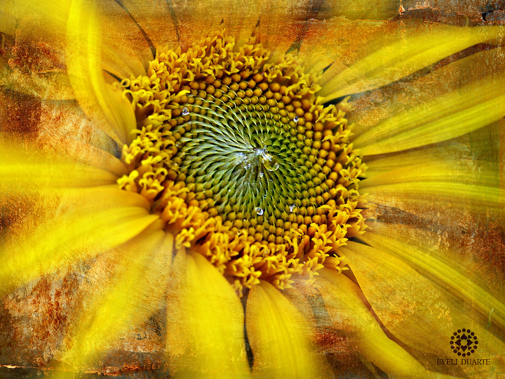 nectar much of the meaning of sunflowers stems from it flickr. Black Bedroom Furniture Sets. Home Design Ideas