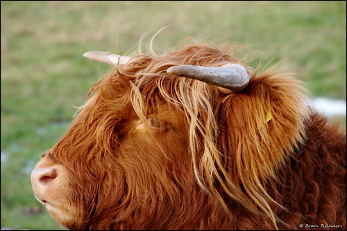 Schotse hooglanders, Scottish Highland Cow | by Bram Reinders(on-off)