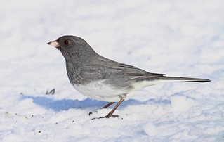 dark eyed junco | by starc283