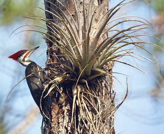 Pileated Woodpecker: Corkscrew Swamp Sanctuary | by Mike's Birds