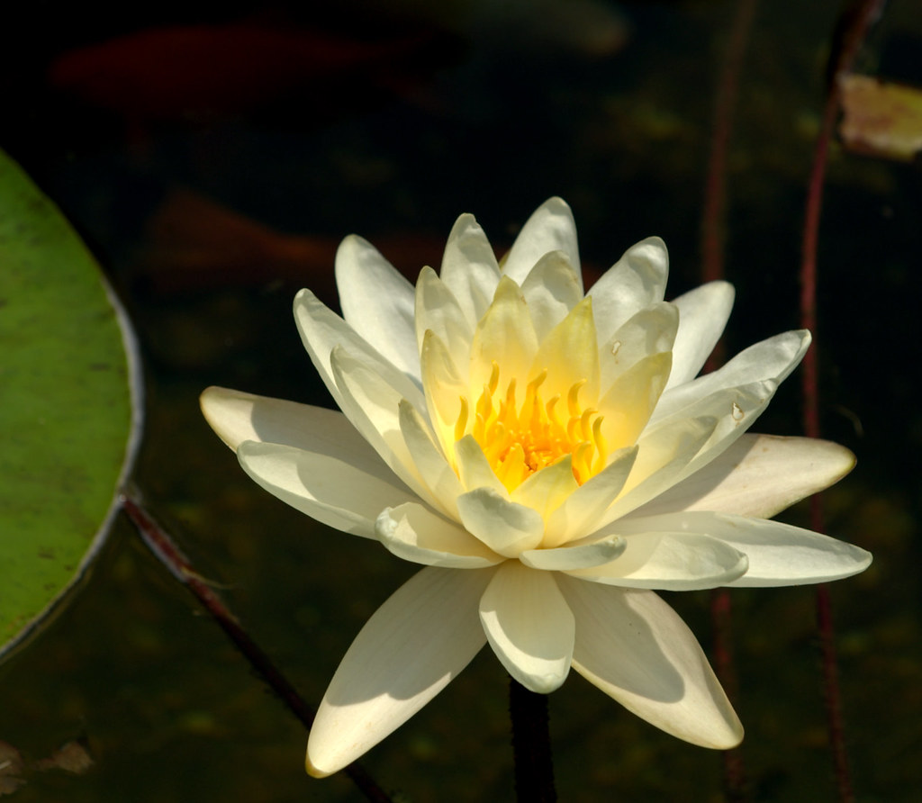 The White Water Lily Is The National Flower Of Bangladesh Flickr