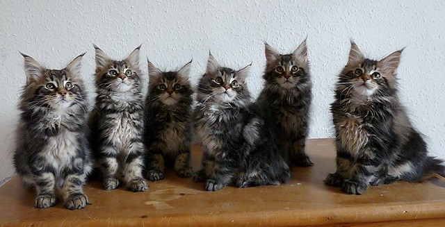 Maine Coon kittens at ...