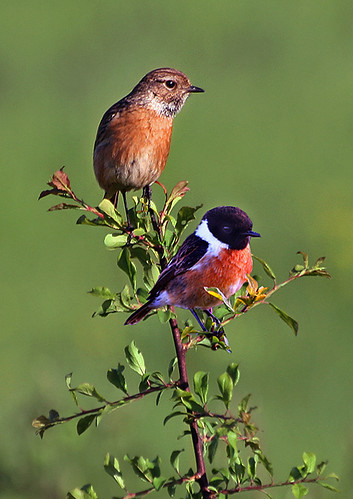 Stonechats | by RobMcA Photography