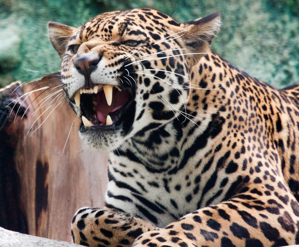 Jaguar Showing Those Teeth Nathan Rupert Flickr