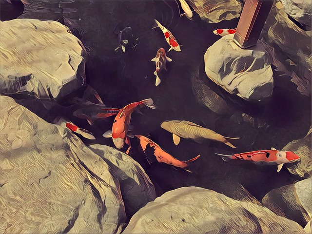 Some of the largest koi I've ever seen in the Japanese-American Friendship Garden. #prisma