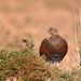 Red Grouse - Female - 2
