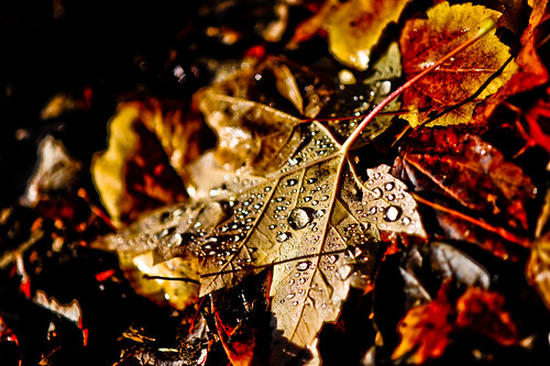 dew covered fall leaves | by tibchris