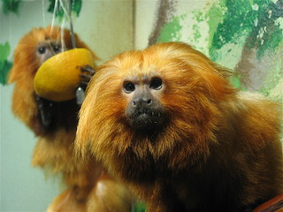 Golden Lion Tamarin | by Potter Park Zoo