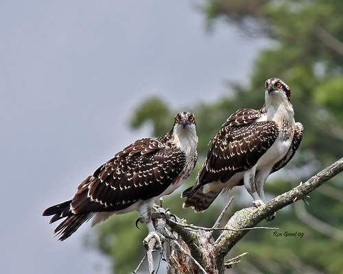 IMG_8040_Young Osprey | by old 41