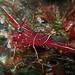 Durban Hinge-Beak Shrimp (Rhynchocinetes durbanensis)