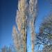 Poplars high
