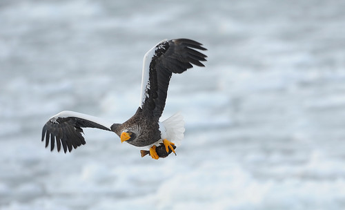 虎頭海鵰 steller`s sea eagle | by Robert tdc