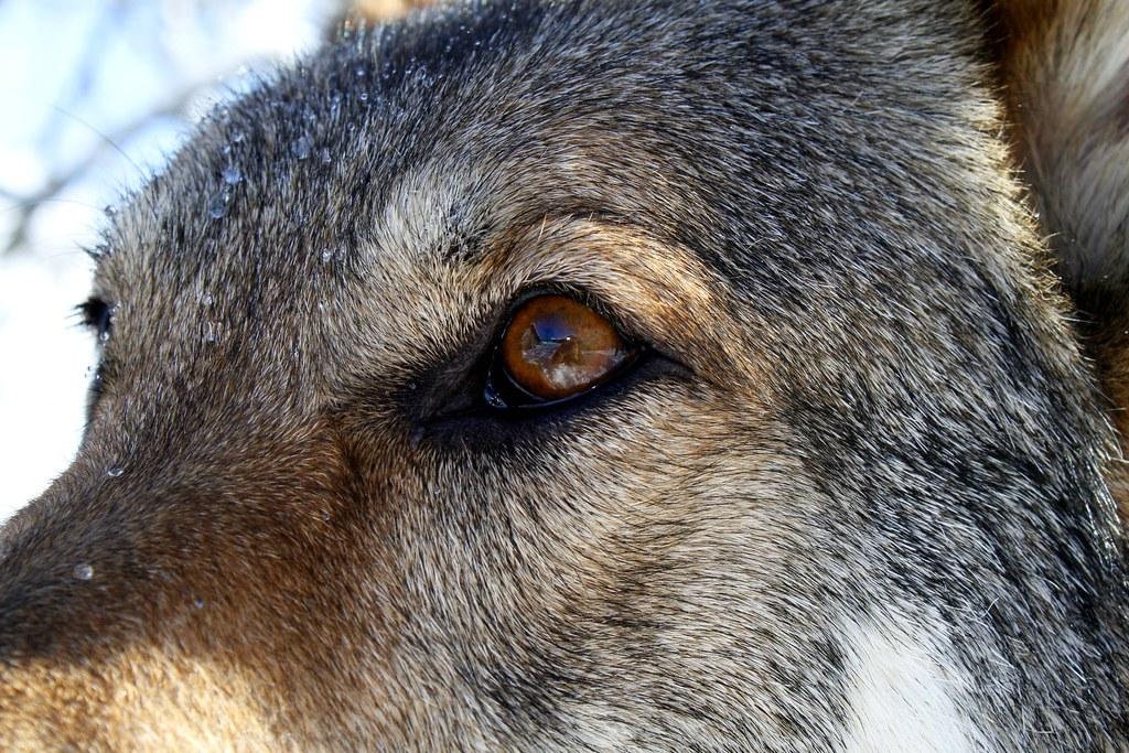 arco ein tschechisch slowakischer wolfshund johannes zengel flickr. Black Bedroom Furniture Sets. Home Design Ideas