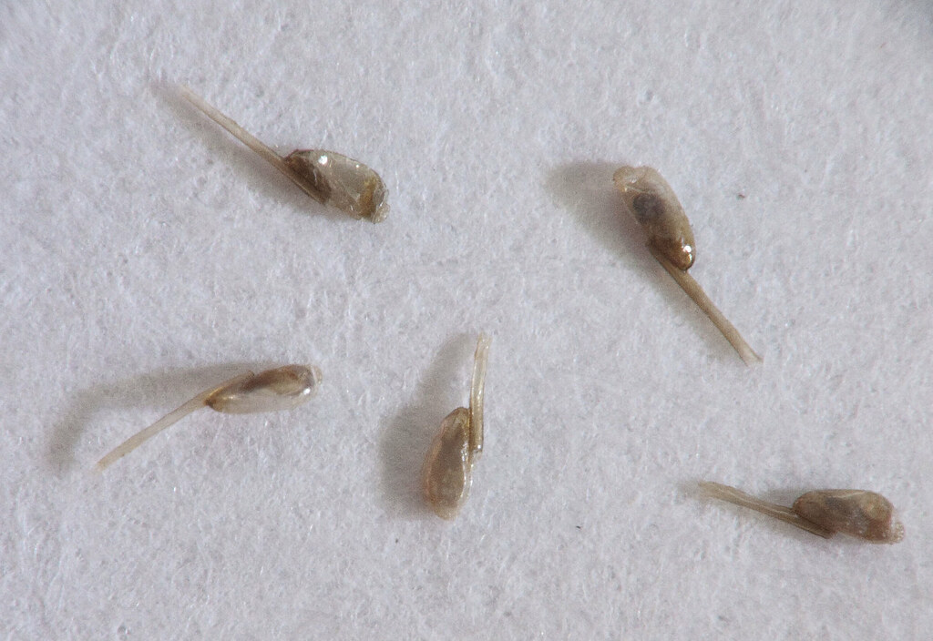 How Long Do Lice Live Discover the Life Cycle of These Pests