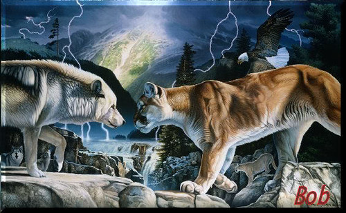 wolf vs cougar this power full white wolf is not backing