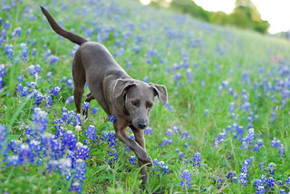 blue lacy running in blue bonnets | by julie.anna