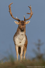 The Fallow Deer Revisited