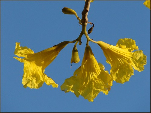 Yellow on blue flowering trumpet tree tabebuia aurea sy flickr - Trees that bloom yellow flowers ...