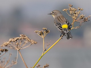 Yellow-Rumped Warbler | by Ingrid Taylar