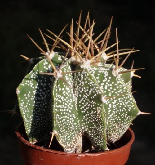 Astrophytum ornatum 4151984879_537800dc94_o