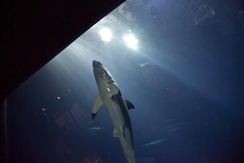 Great White Shark Monterey Bay Aquarium   Great White ...