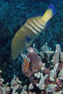 Peacock Grouper/Octopus pairing | by BarryFackler
