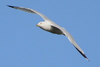 Gull #1 | by Wes Iversen